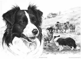 Border Collie Sheep Dog Picture Print Quot Border Encounter