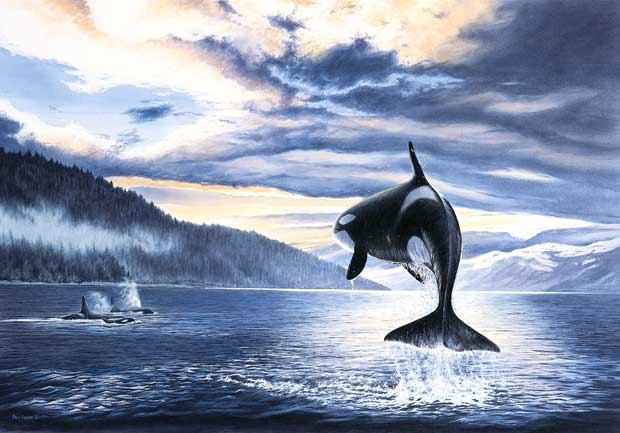 orca killer whale print