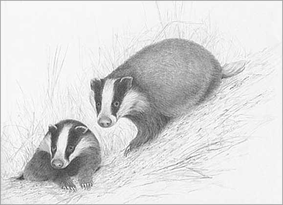 Cachet (UK) Ltd Badgers Print